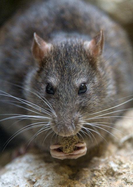 изгнать крыс из дома