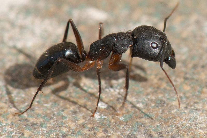 профессиональная травля муравьев