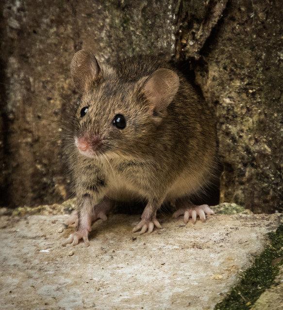 ловля мышей